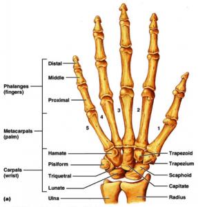bones-of-the-hand
