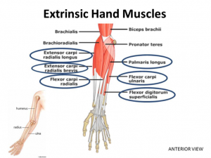 extrinsic-muscles-of-the-hand